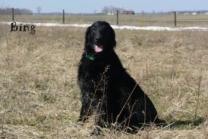 Thistledown flat retrievers ohio